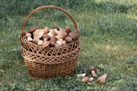 Wicker basket full of mushrooms in the forest clearing.