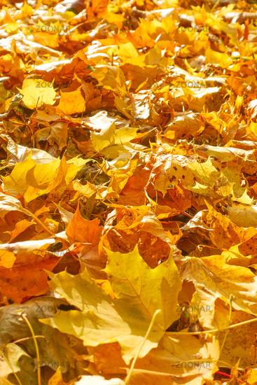 Yellow fallen maple leaves