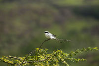 Great grey shrike, Lanius excubitor, Saswad, Pune district, Maharashtra, India.