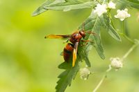 Red Wasp, Paper Wasp close up near Pune, Maharashtra, India.