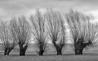 Willow trees on the Lebbiner Land