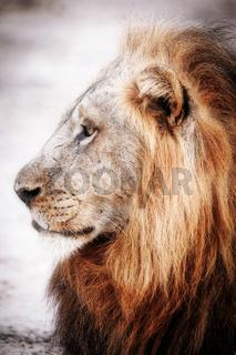 Loewe, maennlich, South Luangwa NP, Sambia, (Panthera leo) |  lion, male, South Luangwa NP, Zambia, (Panthera leo)