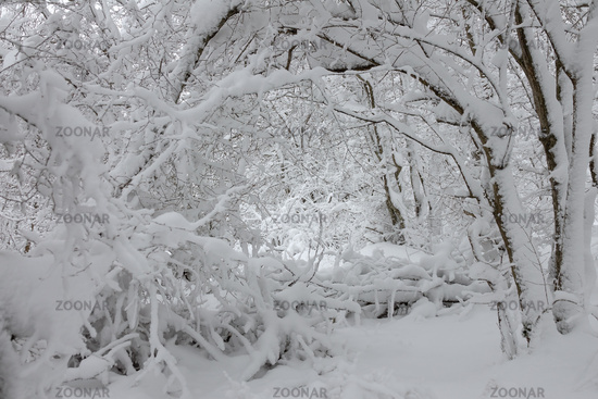 snow covered branches in winter forest