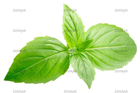 Basil o. basilicum leaves, paths