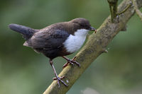 White throated Dipper * Cinclus cinclus * perched in tree