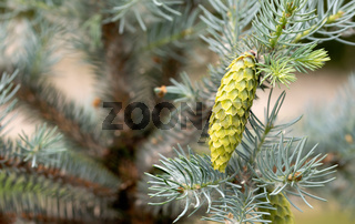 Blue spruce young cone
