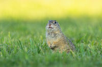 European ground squirrel standing upright and watching around in the morning.
