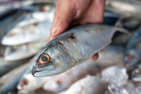 Close up of fresh mackerel holding in hand