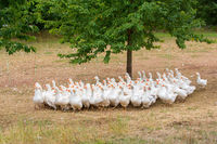 Many white geese together as group in meadow