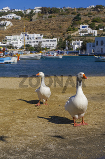 Two geese on the waterfront area before the City Hall of Mykonos, Greece.