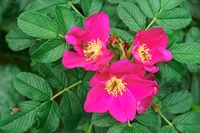 pink wild rose flowers, flowers of wild rose