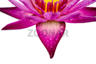 Water lily isolated on white background.