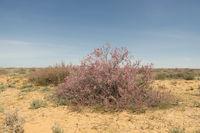 west kazakhstan. Flowering trees of saxaul in the desert steppe plains.