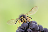 Common Wasp - Extreme Microscope Stacking, Vespula vulgaris, Gemeine Wespe