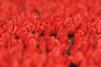 Tulip fields,Texel, Holland