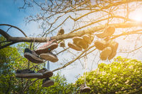 old shoes hanging in tree, vintage clothing, fashion concept -