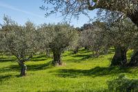 Views of a green olive grove near Grimaldo