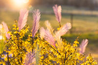 Easter feathers on a blooming forsythia