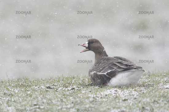 Greater White-fronted Goose * Anser albifrons * in winter, resting on a pasture in snowfall