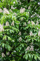 Chestnut tree in full bloom with upright inflorescences