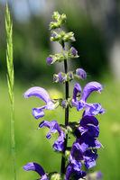 meadow clary or meadow sage (Salvia pratensis)
