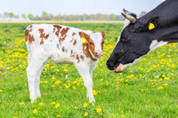 Head of mother cow near newborn calf in meadow