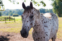 White horse with black dots