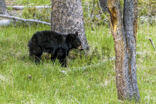 Bear cub stands by a tree.