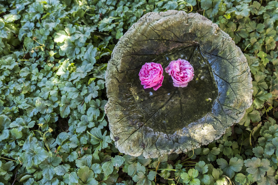 Rose blossoms swim in a bowl of water