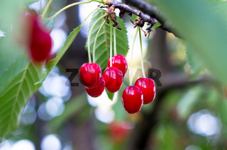 Ripe red cherries of the tree. Sweet cherries on a branch just before harvest.