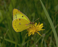 clouded yellow 'Colias croceus'