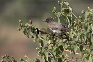 Common bulbul which sits on a branch in the crown of a bush at the edge of the forest