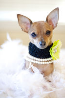 Tiny Chihuahua Dog with flower collar sitting in a bed of white feathers