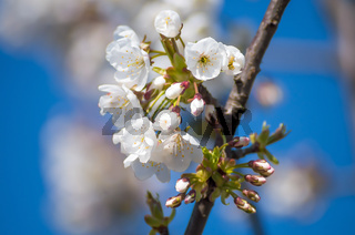 Flowering cherries in the spring. Flowers of cherry against the background of blue spring sky. White flowers blooming on branch.