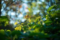 Wild grapes leaves living fance lit by warm sun. Spring nature Selective focus macro shot with shallow DOF