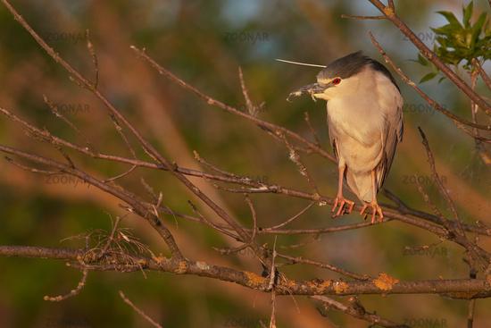 night heron from Hungary