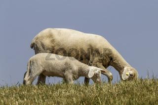 Mutterschaf mit Lamm auf dem Deich, Niederrhein, NRW