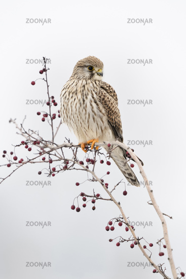 Kestrel * Falco tinnunculus *, female adult in winter, perched on top of a bush with red berries