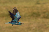 Flying European roller