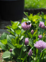 Organic flowering chive with red tailed bumblebee