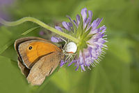 Meadow brown 'Maniola jurtina' in the catches of a flower crab spider ' Misumena vatia'