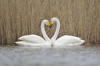 Whooper Swans ( Cygnus cygnus ), couple displaying, forming a love heart