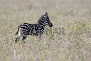 foal of a Plains Zebra that stands among dry grass in the African savanna in the dry season