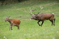 Red deer stag following hind and sniffing scents in rutting season