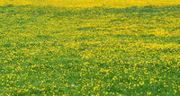 Lush flowering, yellow and green flower meadow