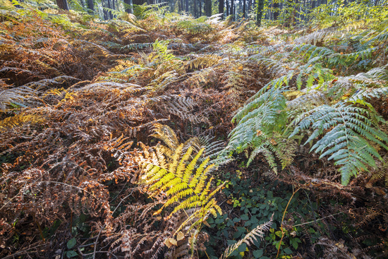 Forest of the Darss area - ferns