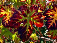 colorful vine leaves in autumn