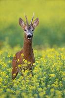 Roe deer buck standing on a flowery rape field with yellow flowers in summer