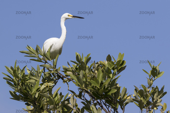 snowy egret that sits on the top of a bush in the mangroves