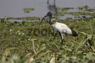 Sacred ibis standing in shallow water on the shore of Lake Albert